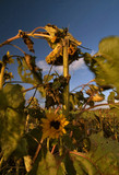 Sonnenblumen im Wind