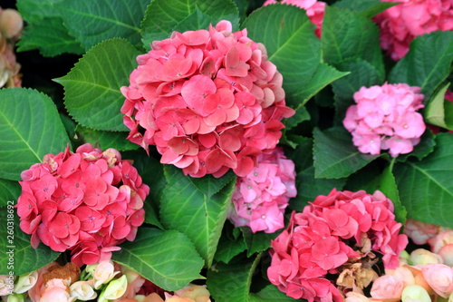 Hydrangea flowers are produced from early spring to late autumn,Close up pink Hydrangea flowers. - 260318692