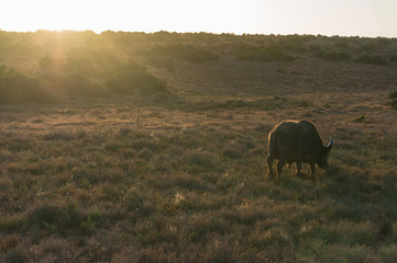 Buffalo and little mongoose grazing savannah on sunrise