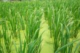Fototapeta Fototapety do łazienki - water bamboo(zizania latifolia) farm © ChenPG