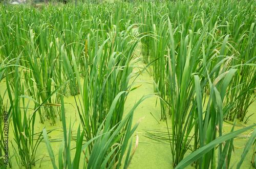 water bamboo(zizania latifolia) farm © ChenPG