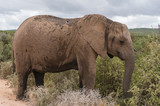 Large African elephant in African savannah