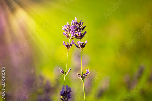 Sunny lavender flowers close-up background. Selective focus used. - 260329813