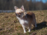Long-haired color sable Chihuahua dog posing.