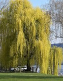 arbre...renaissance