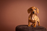 Adorable Miniature Dachshund Puppy - Dog Portrait