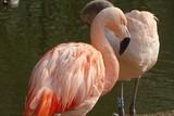 Beautiful Chilean flamingos