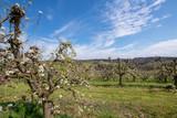 Alte Apfelbäume auf einer Apfelplantage