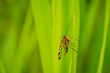 Leinwandbild Motiv Panorpa communis, the common scorpionfly