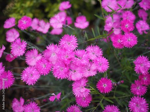 small pink purple carnations (sweet williams) - 260388618