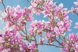 magnolia flower blue sky