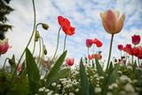 Romance entre pavot et tulipe
