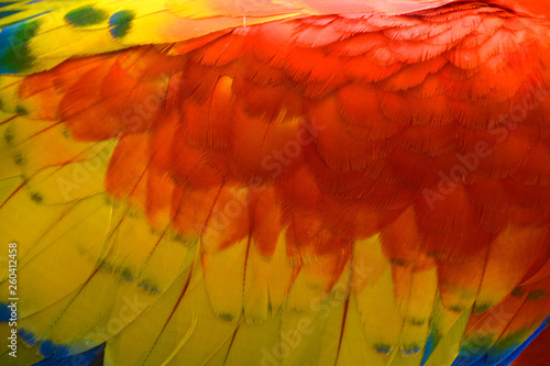 fototapeta na ścianę Feather Scarlet Macaw is a large, red, yellow and blue South American parrot, a member of a large group of Neotropical parrots called macaws. It is native to humid evergreen forests of South America.