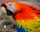 The Scarlet Macaw is a large, red, yellow and blue South American parrot, a member of a large group of Neotropical parrots called macaws. It is native to humid evergreen forests of South America.