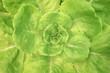 Leinwandbild Motiv Top view salad vegetable in hydroponics farm , butterhead lettuce organic