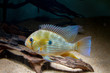 Leinwandbild Motiv Threadfin Acara (Acarichthys heckelii) beautiful ornamental fish from Amazon
