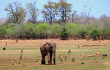 African Elephant standing on the lush savannah with a small herd of Impala grazing in the background.  There is a natural bush and tree background