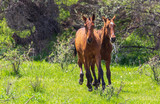 Fototapeta Fototapety z końmi - Two horses graze in nature © schankz