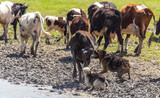 Dogs graze cows in nature in spring