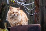 Chat angora roux