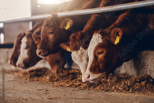 Close up of calves on animal farm eating food. Meat industry concept. © dusanpetkovic1