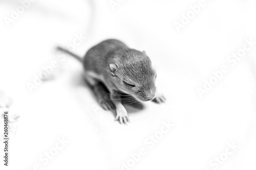 Black and white image of little cute mouse baby. Macro image. © Victoria