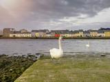 White swan on a River Corrib bank, Galway city, Ireland.