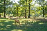Deer Graze and Herd in Forest