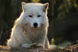 Loup blanc de l'arctique. Prédateur sauvage