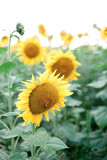Sunflowers field. Concept of summer time, holiday. Rural or countryside scene.