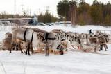 Team of reindeers.