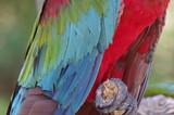 ベニコンゴウインコの羽