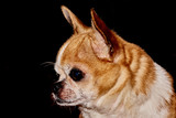 Portrait of a dog on a black background.Profile of the dog on a black background. A dog of the Chihuahua breed. Smooth-haired, red. He looks to the left. You can see the head, ears, eyes, mustaches.