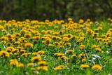 Fototapeta Fototapeta z dmuchawcami - Flowering dandelion © Lars Johansson