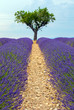 Lavender Field with Olive Tree
