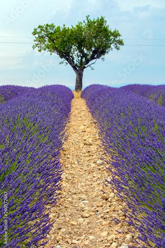 Lavender Field with Olive Tree - 260572667
