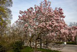 View of magnolia plants and flowers..Magnolia is a large genus in the subfamily Magnolioideae of the family Magnoliaceae with blue sky
