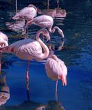 Fenicotteri rosa si riposano sull'acqua su una sola gamba nel mare blu