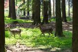 Hirschkühe im Wald