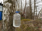 Birch sap drips into a plastic container