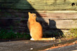 focused orange cat and shadow