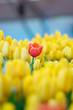 Beautiful view of orange tulips. Tulip flowers meadow.Tulip garden. Group of colorful tulip. - 260645235