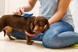 Woman brushing her dachshund dog