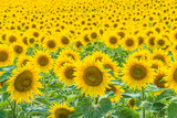 Beautiful yellow sunflowers field. Bees on blooming sunflowers