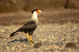 Southern crested caracara (Caracara plancus), also known as the southern caracara or carancho, is a bird of prey in the family Falconidae.