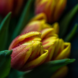 Tulpen Makro frisch