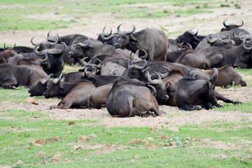 Buffalo in Uganda