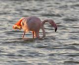 Pink Flamingos in Larnaca Salt Lake, Cyprus