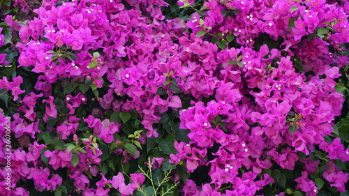 Purple bougainvillea flowers texture pattern background. Beautiful magenta and white Bougainvillea glabra in greenery area. Paper flower. Great bougainvillea spectabilis willd. Nyctaginaceae family. - 260706638