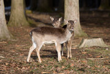 Two young roe deer in snowy forest